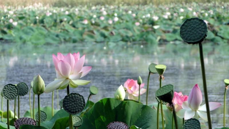 Озеро лотосов в Абрау-Дюрсо
